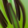 Steiman Genus Lilium