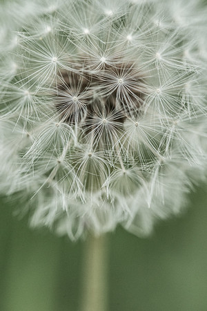 The Dandelion is a weed which is widely distributed and a member of the daisy family, It has a rosette of leaves and large bright yellow flowers, which are followed by globular heads of seeds with downy tufts.