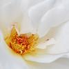 Margaret Merril  Rose opening
