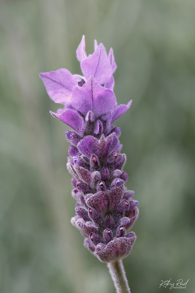 French Lavandula Flower