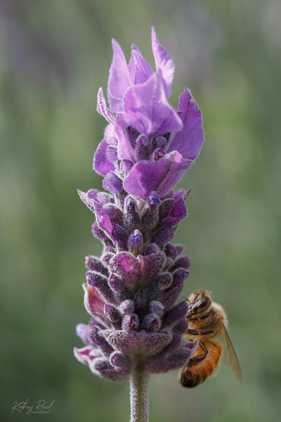 Honey Bee gathering nectar from the Lavandula flower