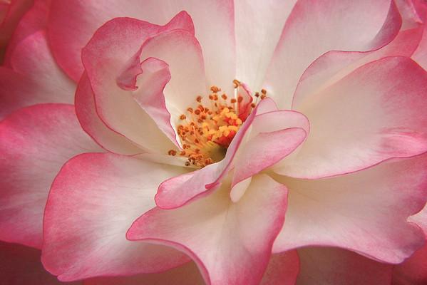 Raspberry Ice Rose