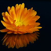 Calendula Reflection