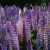 Wild lupins  -  Tekapo NZ