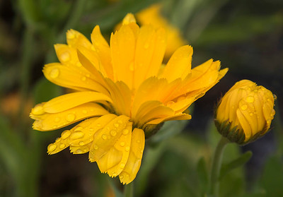 Calendula flower - yellow # 1