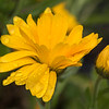 Calendula flower - yellow # 1