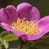 Briar Rose flower # 1