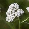 Yarrow flower # 1