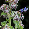 Borage plant / flower # 1
