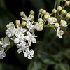 Elderberry Flower # 1