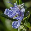 Rosemary # 2