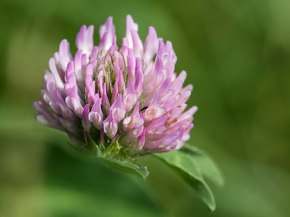 Red clover flower # 2