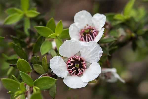 Manuka Flower # 1