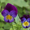 Heartsease Viola flower # 1