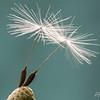Dandelion Ballet
