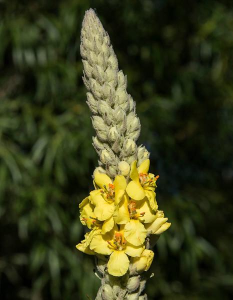 Mullein flower # 1