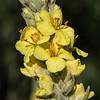 Mullein flower # 2