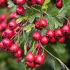 Hawthorne berry # 1