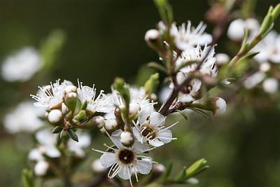 Manuka flower # 2