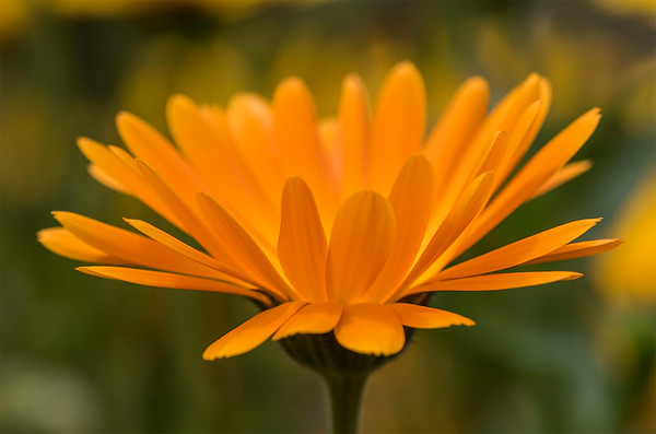 Calendula flower -  orange # 1
