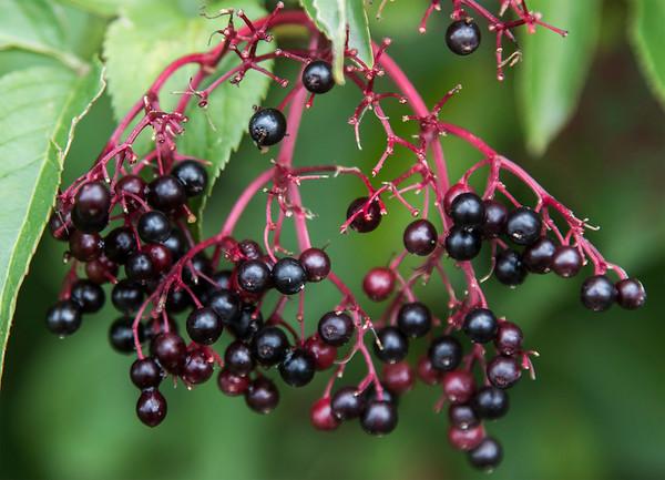 Elderberry # 2