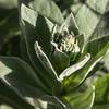 Mullein plant # 1