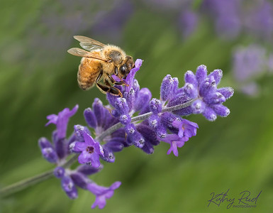 Lavender flower # 1