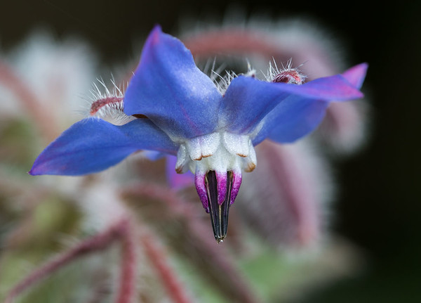 Borage flower # 2
