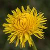 Dandelion flower # 1