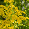 Golden Rod # 1