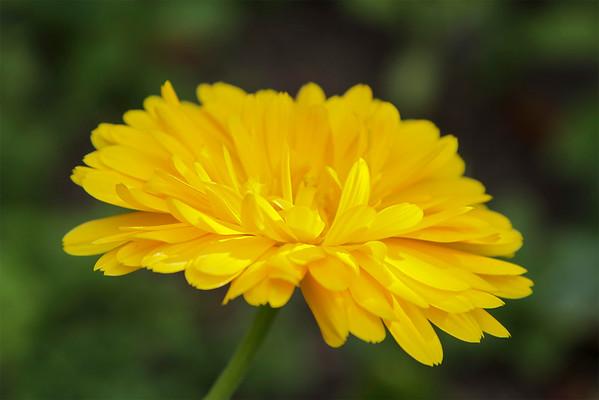 Calendula flower - yellow # 2