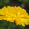 Calendula flower - yellow # 2