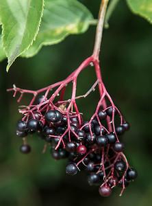 Elderberry # 1
