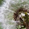 Dandelion seed head # 2
