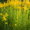 Golden Rod # 3