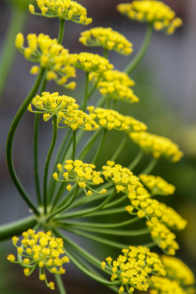 Florence Fennel flowers # 1