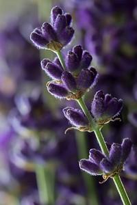 Lavender flower # 2