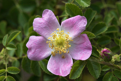 Briar Rose flower # 2