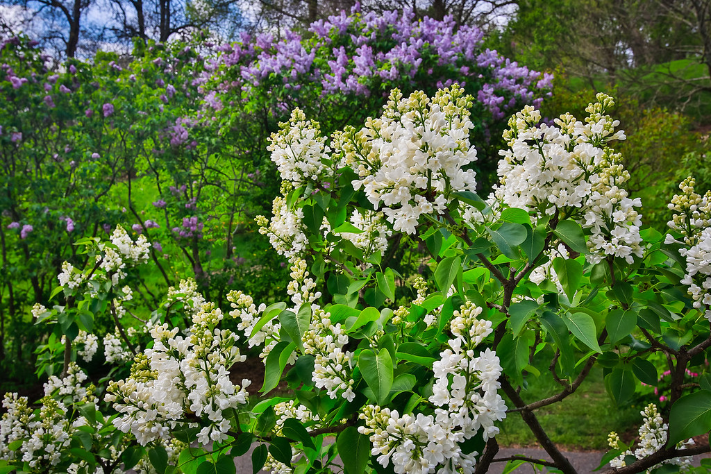 Lilacs at the Arnold Arboretum