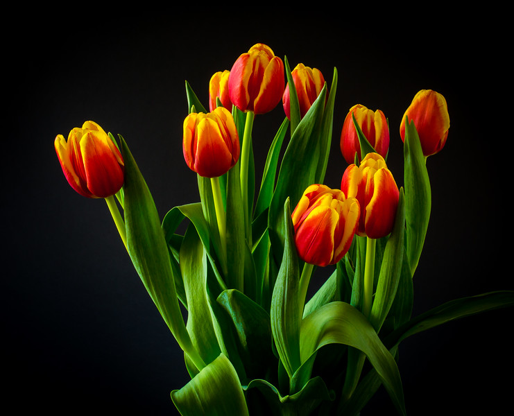 Spring Tulips at my Home Studio