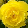 Yellow Rose (9)