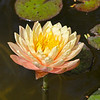 Yellow Water Lily (8)