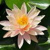 Orange Water Lily (3)