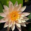 Orange Water Lily (1)