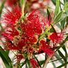 Callistemon Flower - Bottlebrush