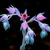 Succulent flower Olympus Zuicko 40-150 test (4)