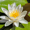 White Water Lily (4)
