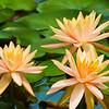 Orange Water Lily (2)