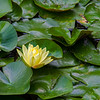 Yellow Water Lily (6)