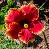 Hibiscus (8)